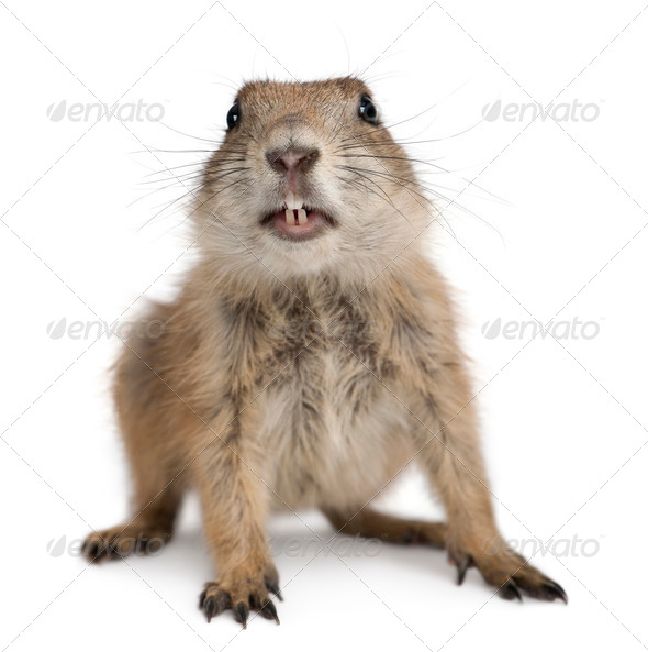 Black-tailed prairie dog, Cynomys ludovicianus, in front of white background - Stock Photo - Images