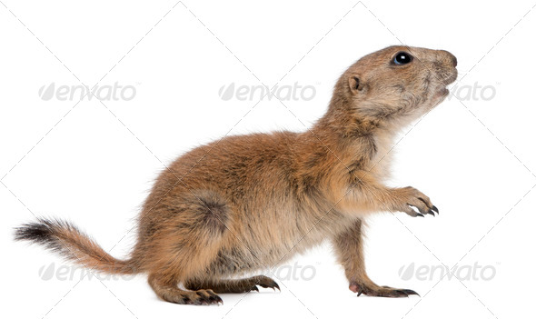 Black-tailed prairie dog, Cynomys ludovicianus, standing in front of white background - Stock Photo - Images