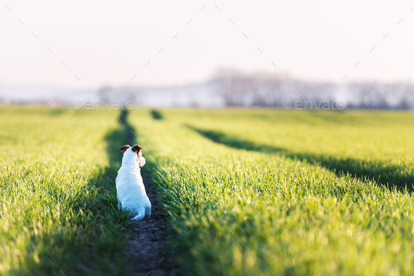 Jack russel terrier on green field - Stock Photo - Images