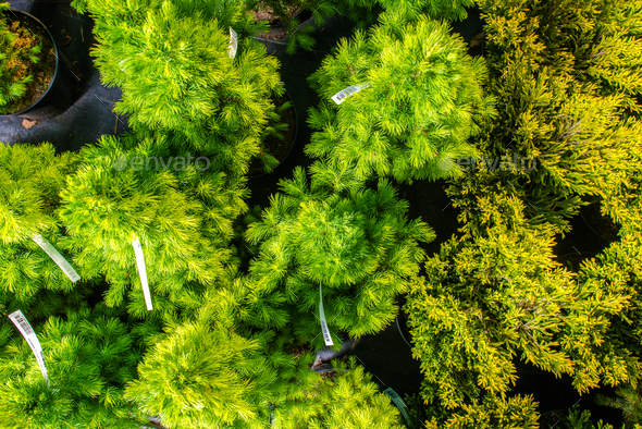 Small Evergreen Trees In Pots. - Stock Photo - Images