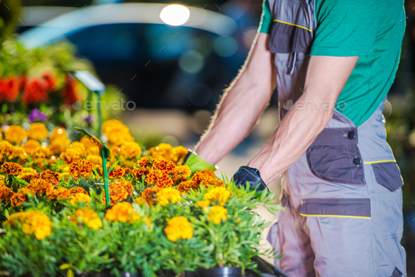 Garden Store Worker Organizes Potted Flowers On Stand. - Stock Photo - Images