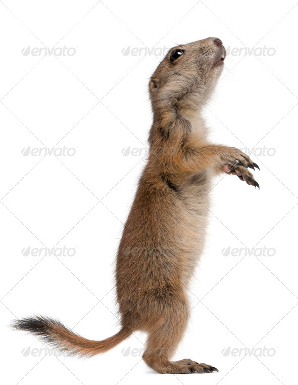 Black-tailed prairie dog, Cynomys ludovicianus, standing on hind legs in front of white background - Stock Photo - Images