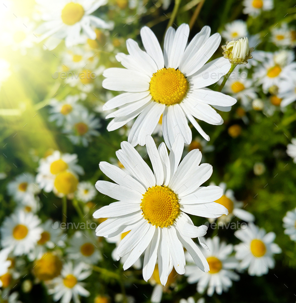 Close up of beautiful daisies lit by sunlight - Stock Photo - Images
