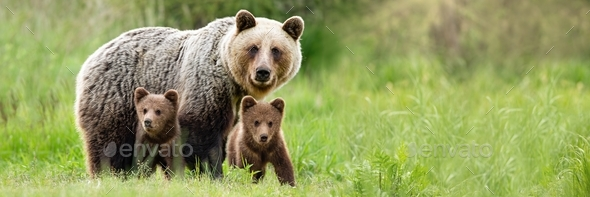 Brown bear mother with two cubs on green meadow with copy space - Stock Photo - Images