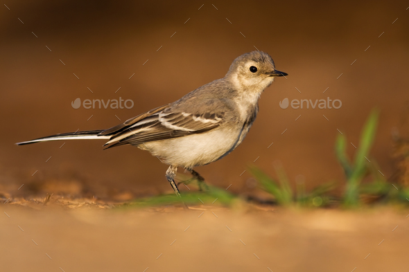 Juvenile white wagtail walking on sand of riverbank in summer at sunset - Stock Photo - Images