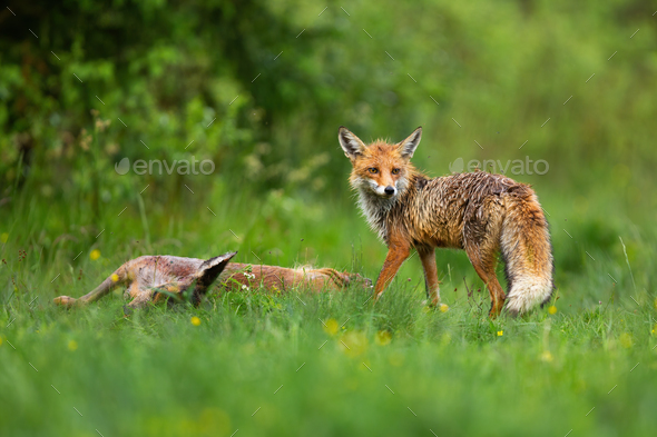 Wild red fox standing by dead roe deer doe and looking back over shoulder - Stock Photo - Images