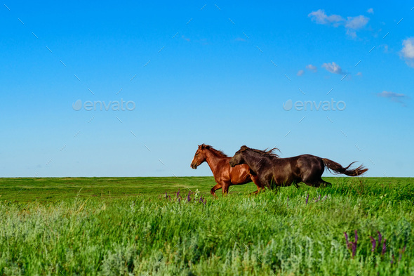 Wild horses galloping in the sunlit meadow - Stock Photo - Images