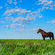 Wild stallion grazing on summer meadow - PhotoDune Item for Sale