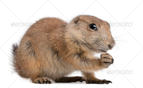 Black-tailed prairie dog, Cynomys ludovicianus, sitting in front of white background - Stock Photo - Images