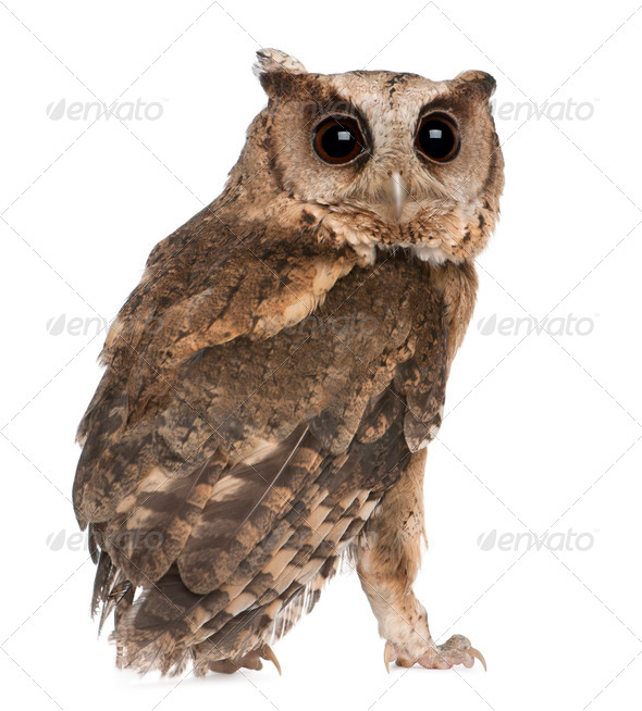 Young Indian Scops Owl, Otus bakkamoena, in front of white background - Stock Photo - Images