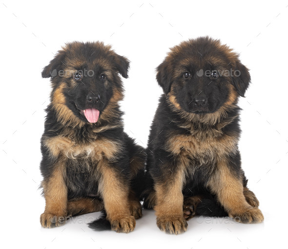 puppies german shepherd - Stock Photo - Images
