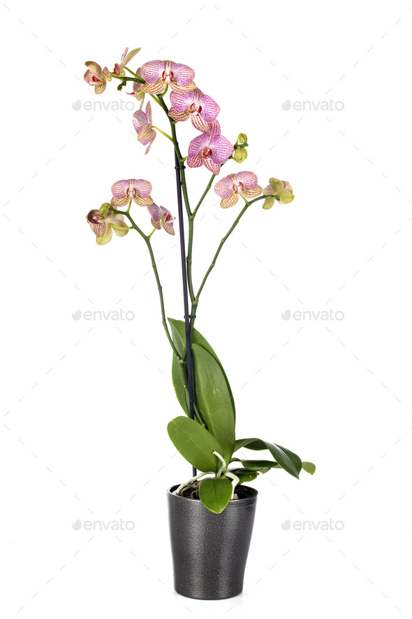 Phalaenopsis in studio - Stock Photo - Images