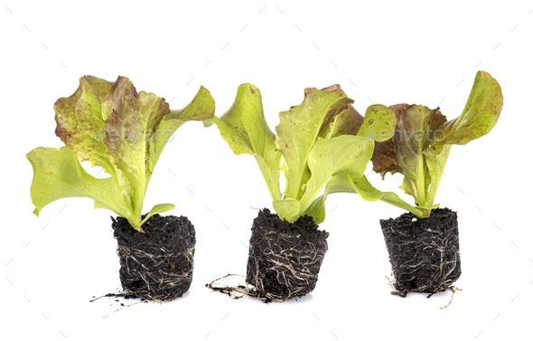 lettuce seedling in studio - Stock Photo - Images