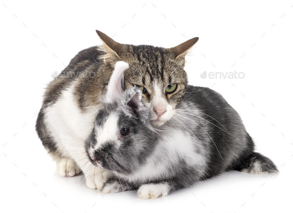 dwarf rabbit and cat - Stock Photo - Images