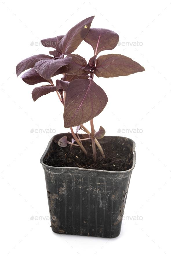 Ocimum basilicum Purpurascens in studio - Stock Photo - Images