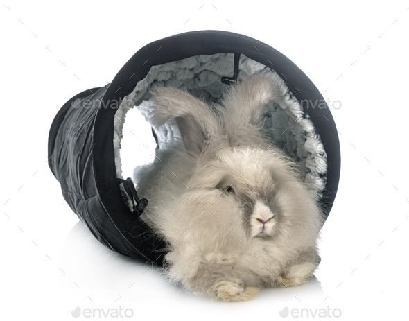 English Angora rabbit - Stock Photo - Images