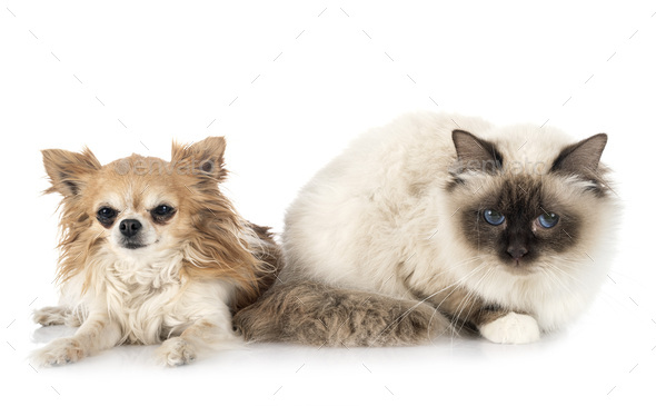 birman cat and chihuahua - Stock Photo - Images