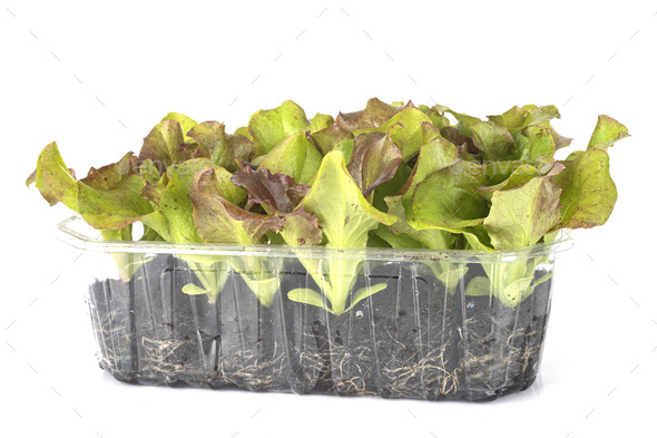lettuce seedling in studio - Stock Photo - Images