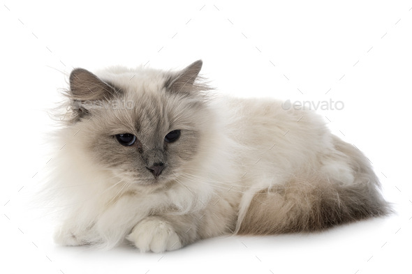 birman cat in studio - Stock Photo - Images