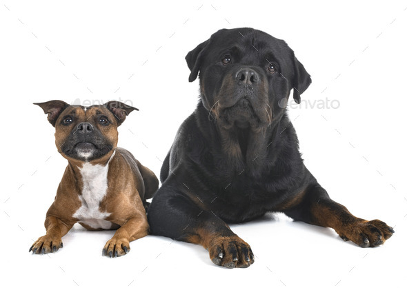 staffordshire bull terrier and rottweiler - Stock Photo - Images