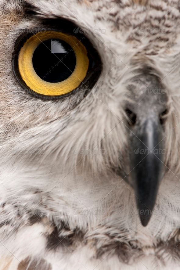 Close-up of Great Horned Owl, Bubo Virginianus Subarcticus - Stock Photo - Images