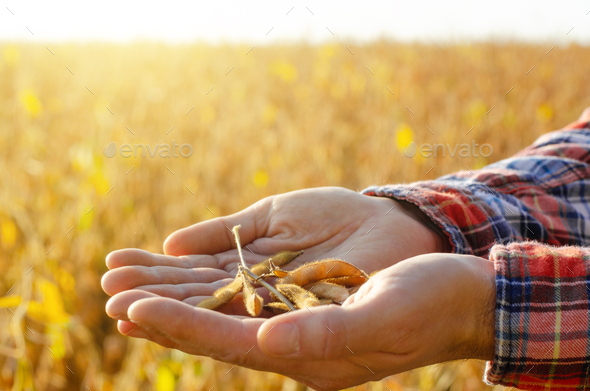 Harvest ready soy pods in farmer hands on field background evening sunset time - Stock Photo - Images