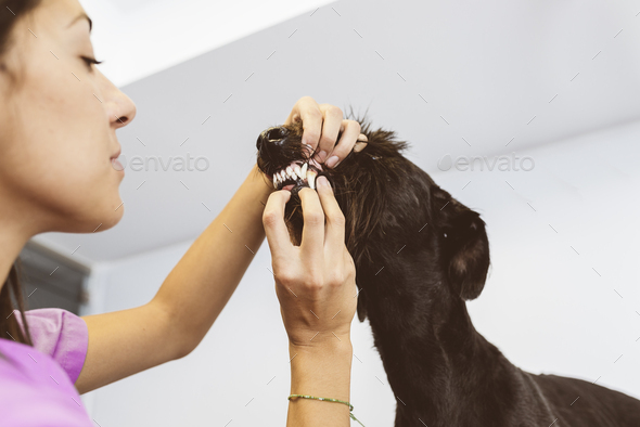 Veterinarian doctor is making a check up of a cute beautiful dog. - Stock Photo - Images