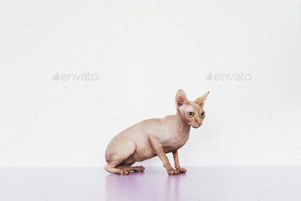 Portrait of beautiful sphynx cat. - Stock Photo - Images
