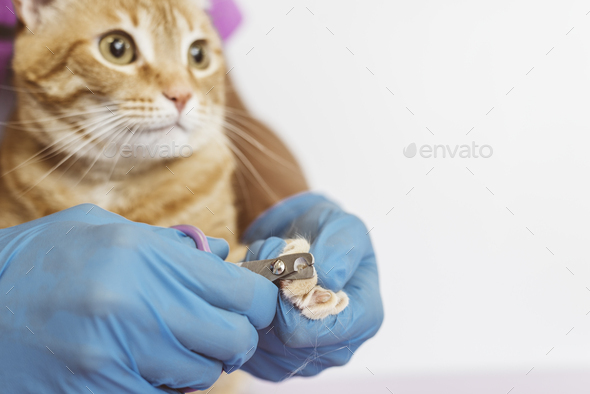 Veterinarian doctor trimming nails of the cat. - Stock Photo - Images