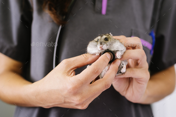 Veterinarian doctor is making a check up of a little hamster. - Stock Photo - Images