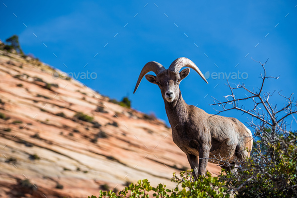 Beautiful Bighorn Sheep standing cliffside along the Superstition Mountains at Zion National Park - Stock Photo - Images