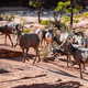 Herd of desert bighorn sheep, ovis canadensis nelsoni, walks through Zion National Park - PhotoDune Item for Sale