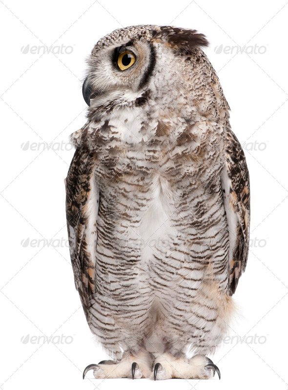 Great Horned Owl, Bubo Virginianus Subarcticus, in front of white background - Stock Photo - Images
