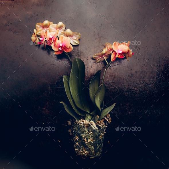 Orange Phalaenopsis Orchid Plant - Stock Photo - Images