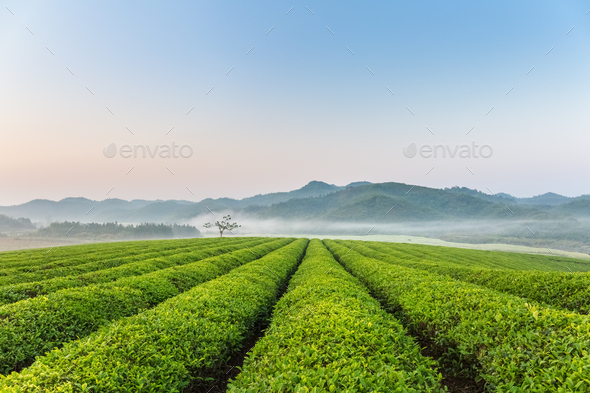 beautiful tea plantation in early morning - Stock Photo - Images