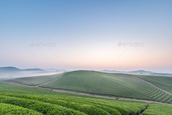 tea plantation landscape in dawn - Stock Photo - Images
