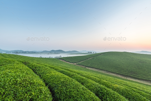 tea plantation with mist in sunrise - Stock Photo - Images