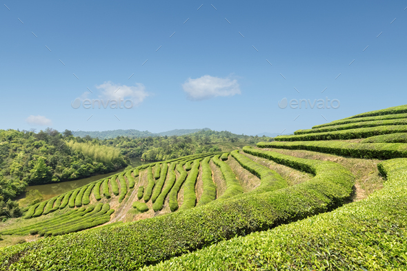 beautiful tea plantation in sunny spring - Stock Photo - Images