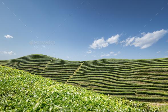 tea garden in sunny spring - Stock Photo - Images