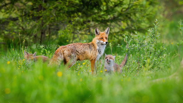 Little red fox cubs playing around their protective mother on green meadow - Stock Photo - Images
