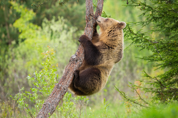 Female brown bear climbing a tree in summer nature with green forest behind - Stock Photo - Images