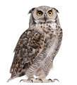 Great Horned Owl, Bubo Virginianus Subarcticus, in front of white background - PhotoDune Item for Sale