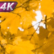 Sprawling Crown Of Old Maple - VideoHive Item for Sale