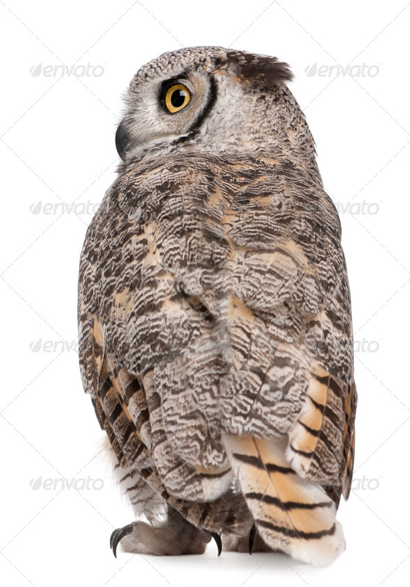 Rear view of Great Horned Owl, Bubo Virginianus Subarcticus, in front of white background - Stock Photo - Images