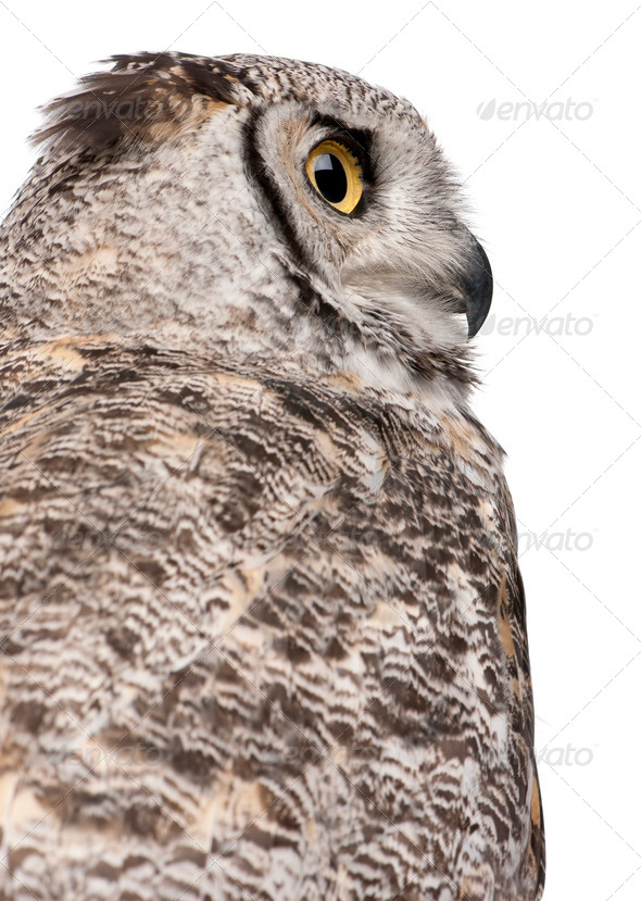 Close-up of Great Horned Owl, Bubo Virginianus Subarcticus, in front of white background - Stock Photo - Images