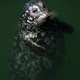 Seal at Fishermans Wharf, Victoria, BC, Canada - PhotoDune Item for Sale