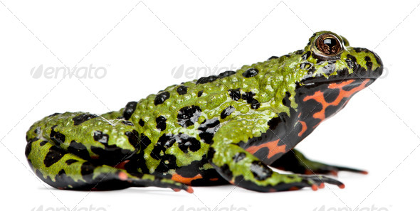 Oriental Fire-bellied Toad, Bombina orientalis, in front of white background - Stock Photo - Images