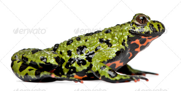Smiling Oriental Fire-bellied Toad, Bombina orientalis, in front of white background - Stock Photo - Images