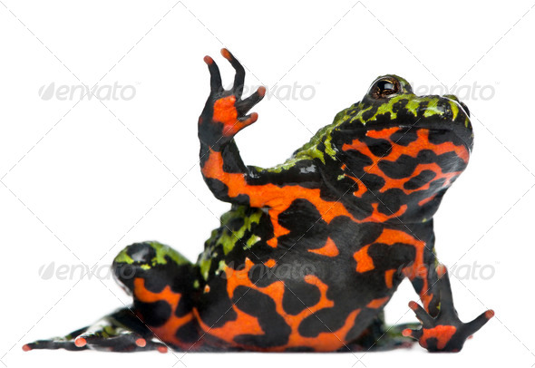 Oriental Fire-bellied Toad waving, Bombina orientalis, in front of white background - Stock Photo - Images
