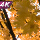 Branched Old Maple With Autumn Foliage - VideoHive Item for Sale